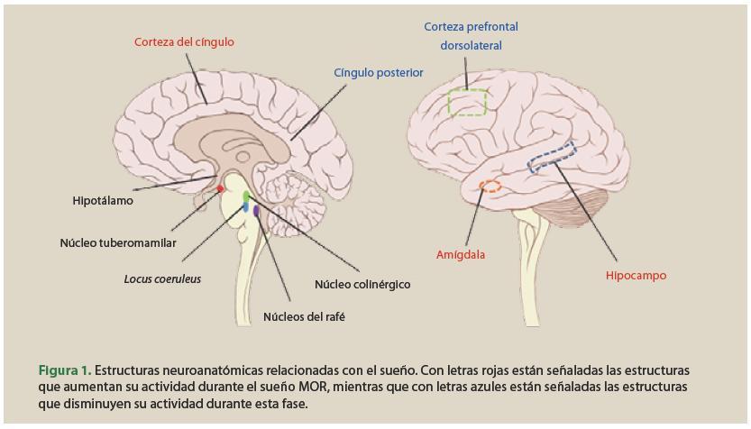 Bases fisiológicas del sueño y la vigilia – Los sueños y ritmos ...